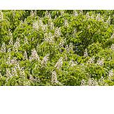 Flowers, Horse Chestnut