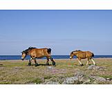 Horse, North Sea, Wind, Foal