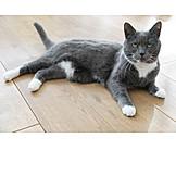 Katze, Britisch Kurzhaar