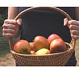 Apples, Apple Harvest