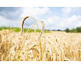 Landwirtschaft, Getreide, Nutzpflanze, Weizenähre