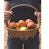 Apple, Harvest