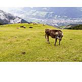 Cow, Alp, Alto adige