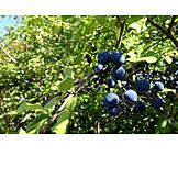 Fruit, Prunus Spinosa