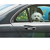 Auto, Hund