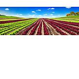 Landwirtschaft, Kopfsalat, Salatanbau