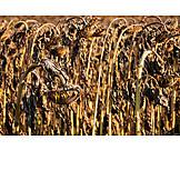 Sunflower, Dried Plant