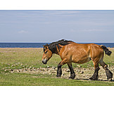 Pferd, Kaltblut