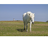 Pferd, Schimmel