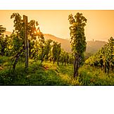 Vineyard, Vines, Viticulture