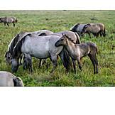Fohlen, Wildpferde