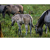 Pasture, Grazing, Foal, Wild Horses
