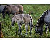 Weide, Grasen, Fohlen, Wildpferde