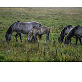 Grasen, Fohlen, Wildpferde