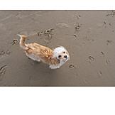 Hund, Cockapoo