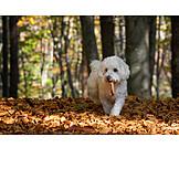 Dog, Malteser