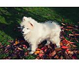 Hund, Samojede