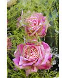Rose, Fabric Rose