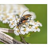 Mating, Longhorn Beetles