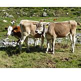 Cow, Alp