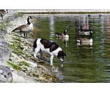 Drinking, Lake, Dog
