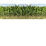 Landwirtschaft, Maisfeld, Nutzpflanze