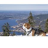 Hiking, Beagle