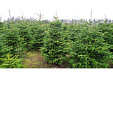 Christmas Tree, Plantation