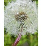 Dandelion, Filigree, Seed