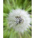 Dandelion, Dandelion, Seed