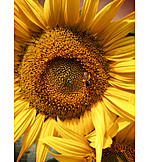 Sunflower, Honey Bee, Pollen