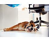 Büro, Schlafen, Hund, Bürohund