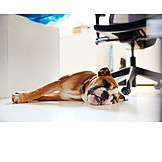 Office, Sleeping, Dog, Office Dog