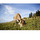 Cow, Pasture, Grazing