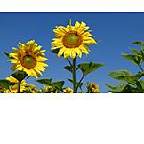 Sunflower, Crop