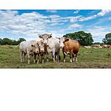 Herd, Cow, Pasture