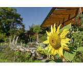 Garden, Sunflower