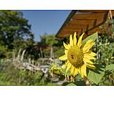 Garten, Sonnenblume