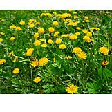 Dandelion, Flower Meadow