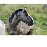 Pferd, Wildpferd, Dülmener Pferd
