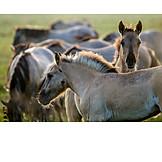 Pferde, Wildpferd, Dülmener Pferd