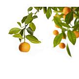 Orange, Orange Tree