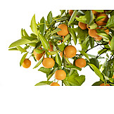 Orange, Twig, Orange Tree