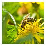 Honey Bee, Dandelion