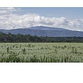 Lupins field
