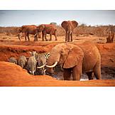 Elephant, Zebra, Waterhole