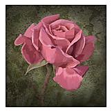 Rose, Painting, Rose Petals