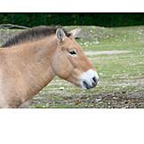 Horse, Przewalski Horse