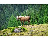 Horse, Haflinger
