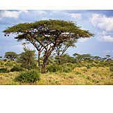 Tree, Wilderness, Kenya